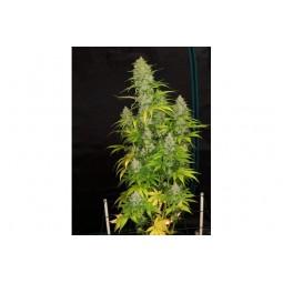 HulkBerry - Royal Queen Seeds