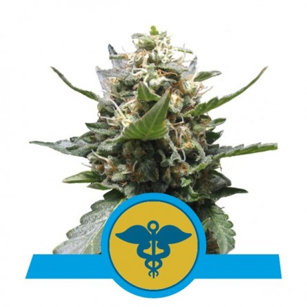 Royal Medic CBD - Royal Queen Seeds