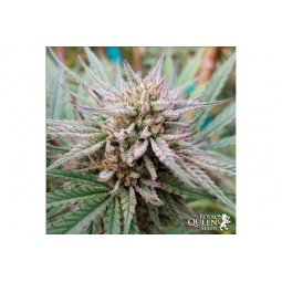 Painkiller XL - Royal Queen Seeds