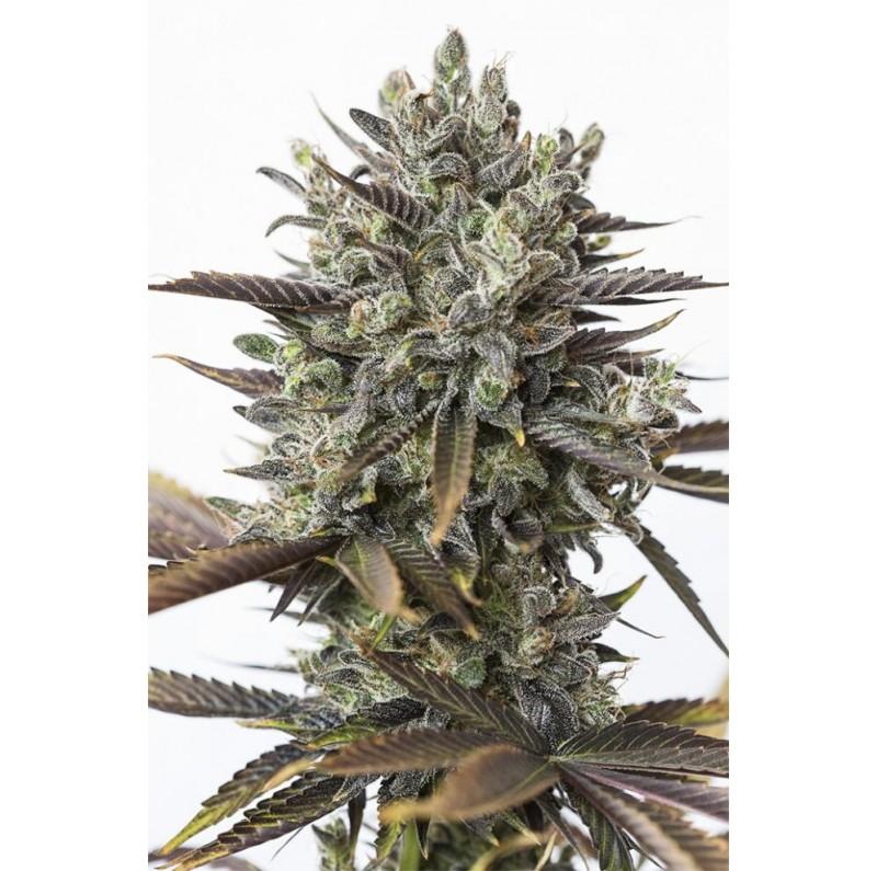 Purple Orange CBD - Dinafem