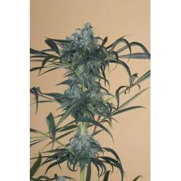 Green Crack CBD - Humboldt